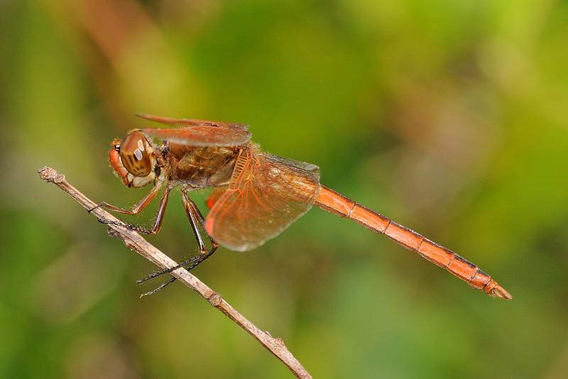 Libellula auripennis (Golden-winged Skimmer) - male