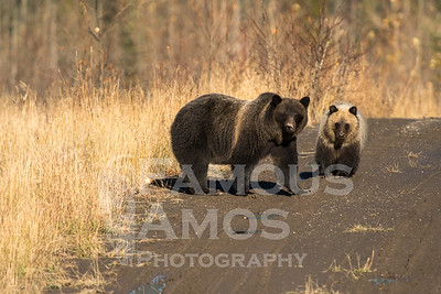 Mama Grizzly Bear and Cub- British Columbia