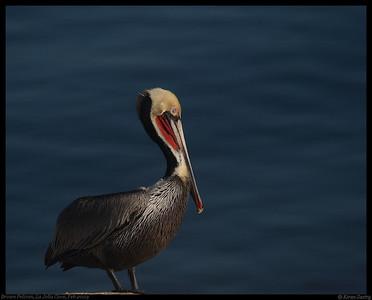 Pelicans, Boobies