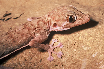 Fan-footed Gecko