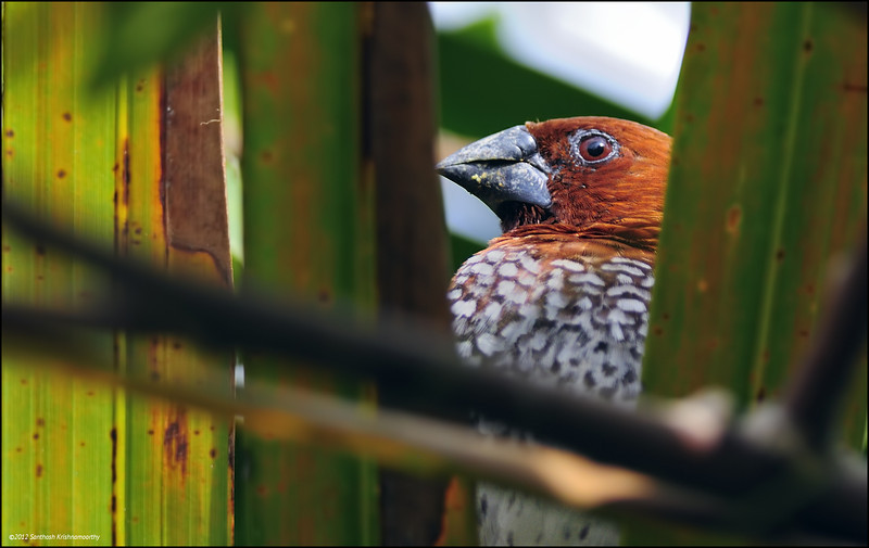Scaly breasted Munia - Candid, up close....