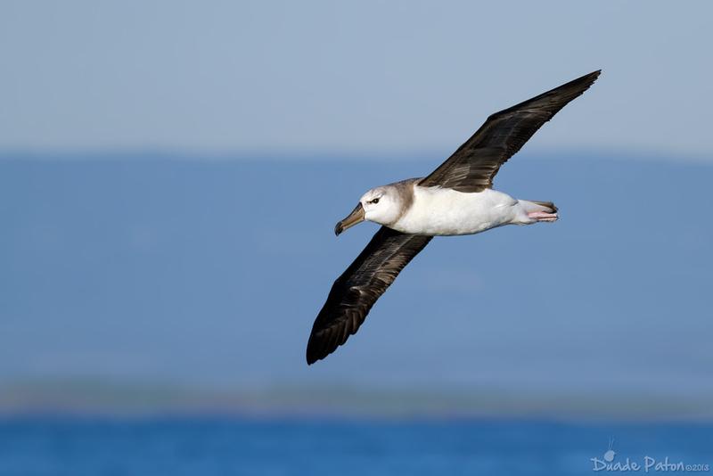 Black-browed Albatross - Juvenile