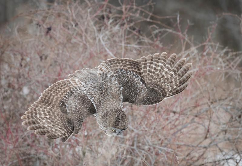 Great Gray Owl Diving.jpg