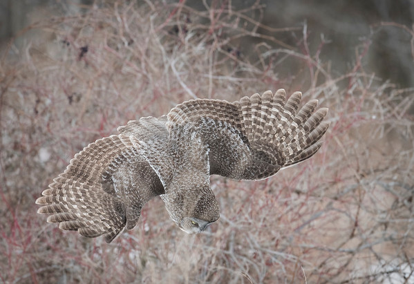 Great Gray Owls New York State