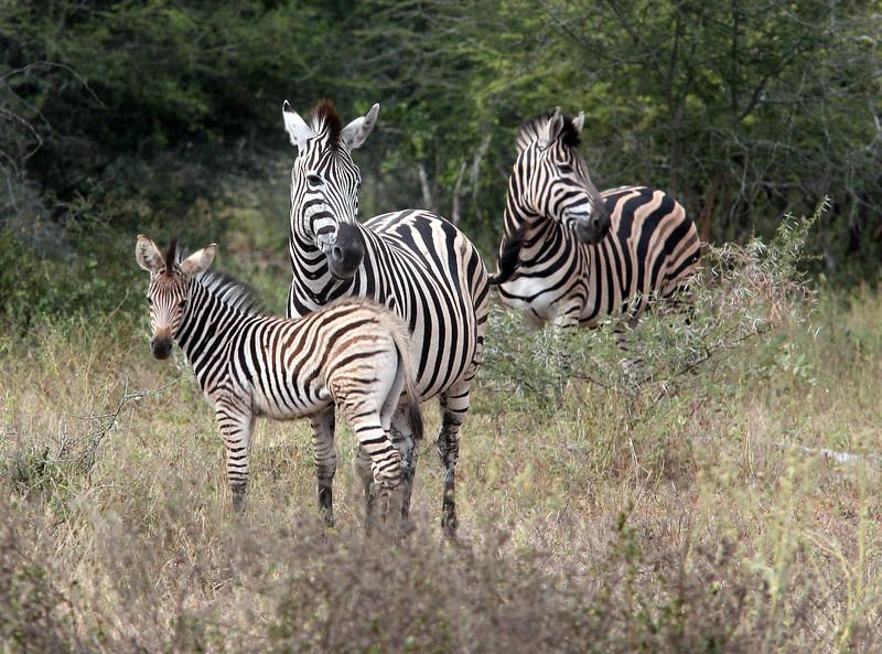 Zebras at Kruger National Park, South Africa.