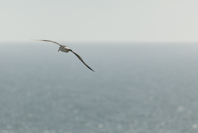 Albatross, defecating in flight, West Point Island, Falkland Islands