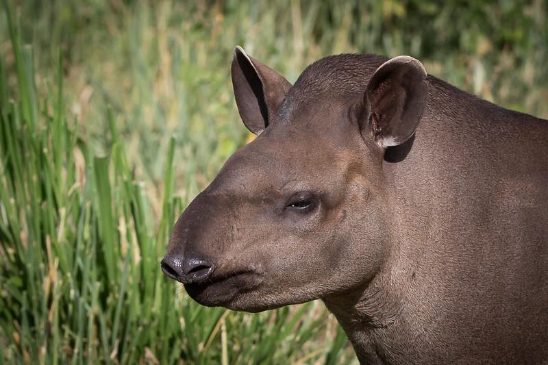 brazilian tapir