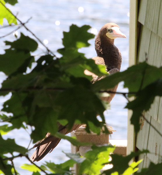 brown footed booby 5.jpg