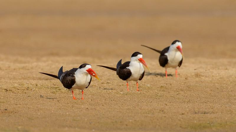 Three-musketeers-Indian-Skimmers-Chambal.jpg