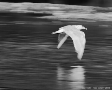 Seagull in flight (B&W)