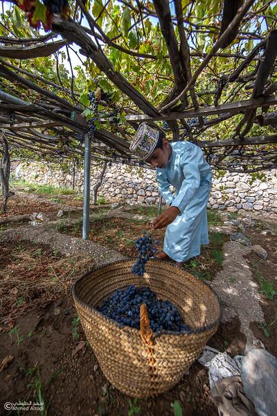 Grape - Wakan village - Nakhal221- Oman.jpg