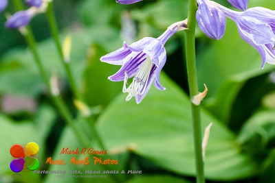 a side view of a lavender Hosta plant that is blooming