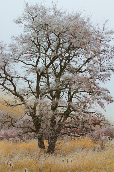 Frosty Marengo Tree
