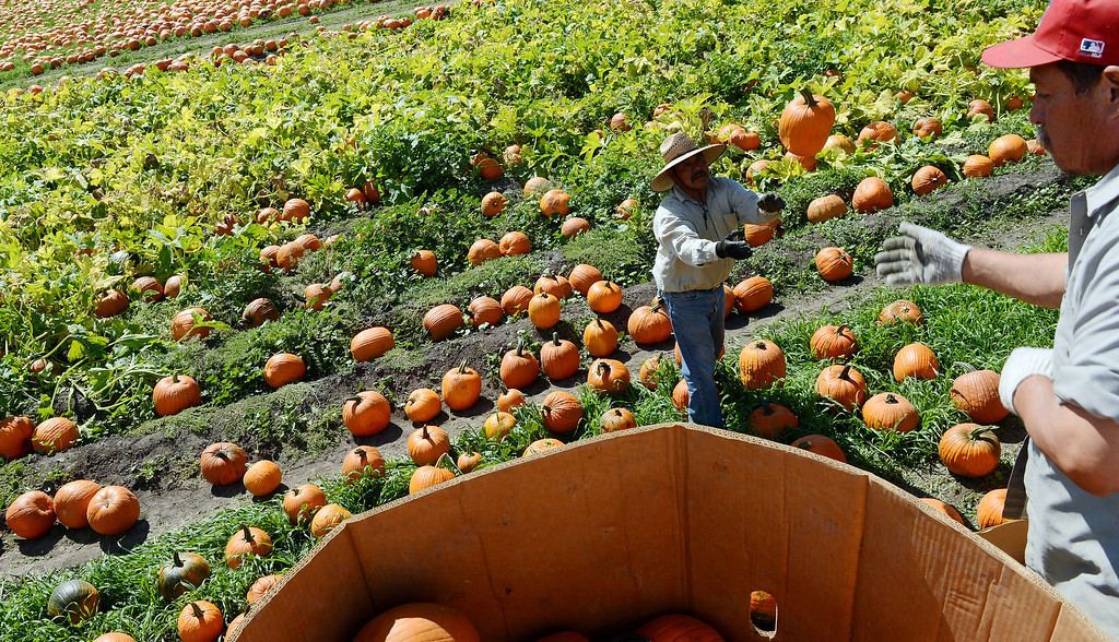 . Workers have begun placing over 60,000 pumpkins outside the Cal Poly Farm Store Monday October 7, 2013 for the upcoming 21st annual Farm Store Pumpkin Festival which begins October 19. All pumpkins will cost $5 with proceeds going to the Cal Poly Pomona Agriculture Department. (Will Lester/Inland Valley Daily Bulletin)