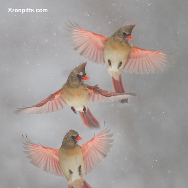 A Blush of Cardinals