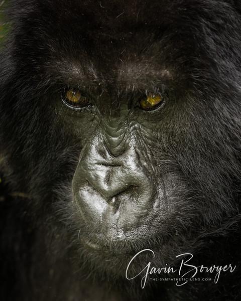 gorillas web.jpg