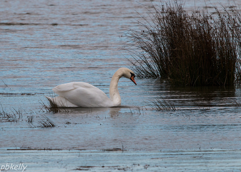 11-09.  One of the pair of Swans at Sandy Ridge.