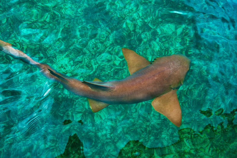 Nurse Shark Close up.jpeg