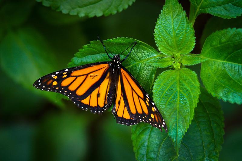 butterfly 4x6.jpg