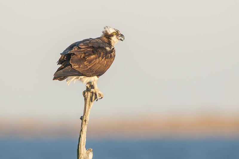 Osprey Female Perching in Snag Two.jpg