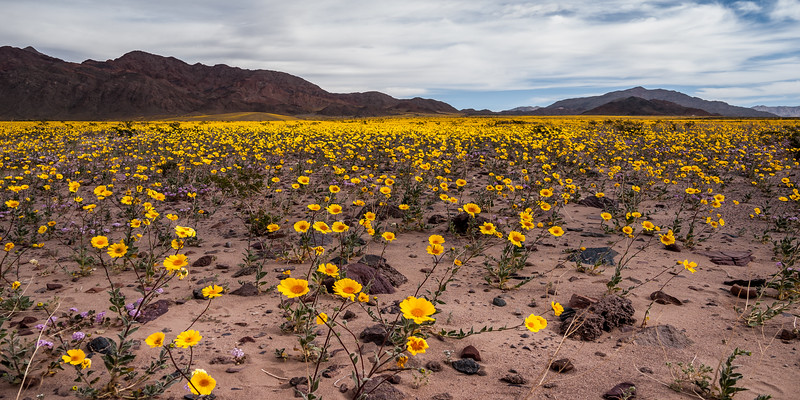 DESERT BLOOM, DEATH VALLEY | CA