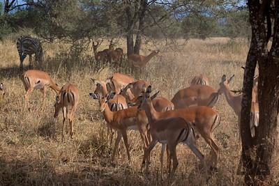 Antelopes....
