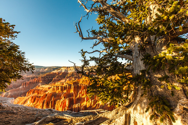 Bristlecone Pine, Cedar Breaks National Monument