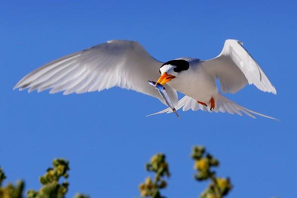 Fairy Terns of Fremantle