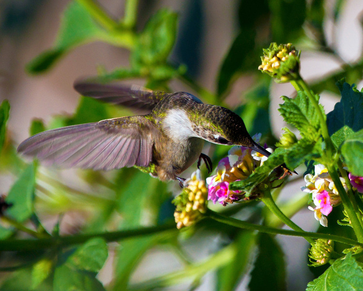 Ruby-throated humming bird, 1
