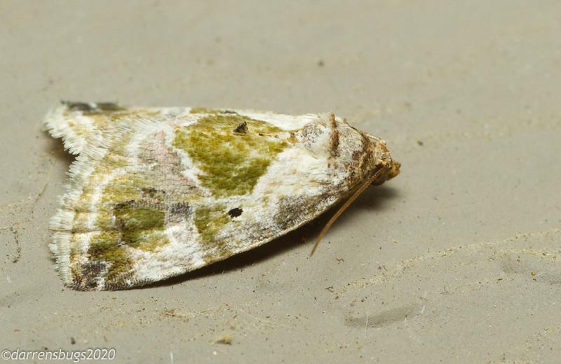 Black-dotted Lithacodia Moth, Maliattha synochitis (Noctuidae), from Iowa.