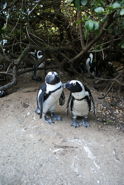 These penguins were creepy.  They hid up in the bushes. Hundreds of the little buggers. And they just stare at you.  I'm still having nightmares.