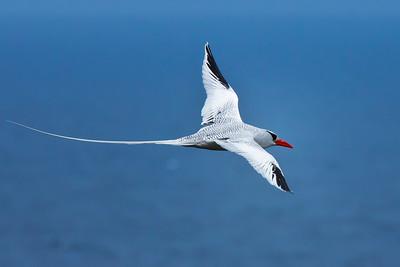 tropicbirds