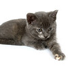 A gray kitten with its paw extended while grabbing for a toy on a white background