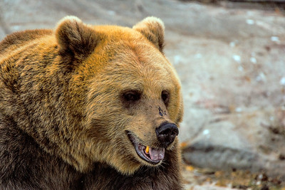 Brown Bear - Ruskeakarhu