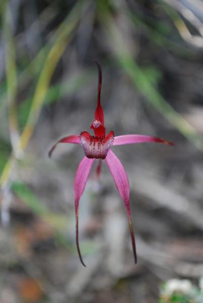 Caladenia clavescens  (Brisbane Ranges)