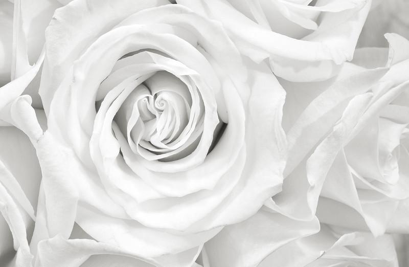 cream-roses-01.jpg