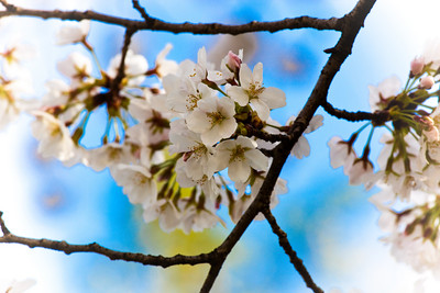 DC Cherry Blossom Festival 2009