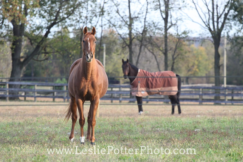 Horses in Pasture Divided by Electric Tape
