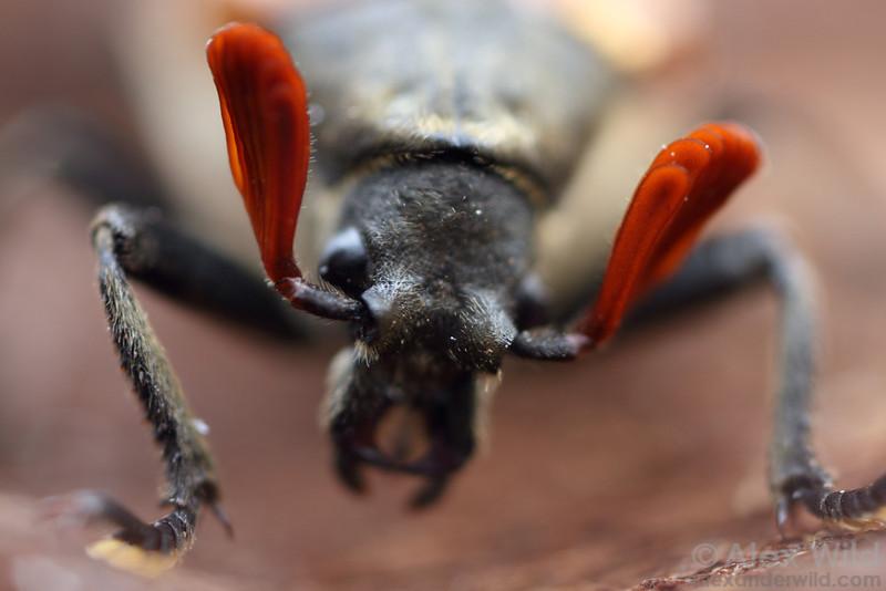 Sandalus niger cicada parasite beetle (male).  Urbana, Illinois, USA