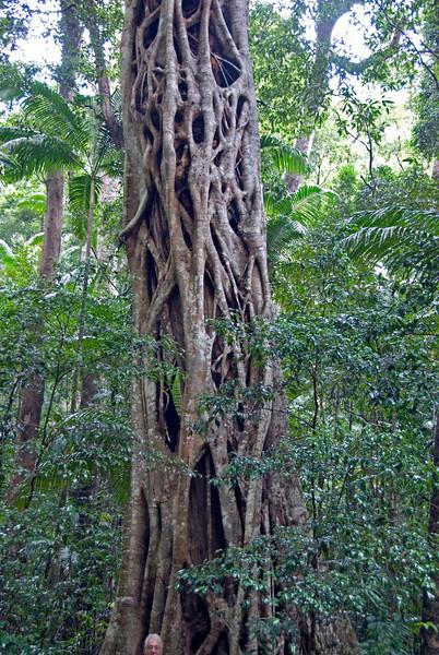 Engulfing Fig 2, Fraser Island - Queensland, Australia