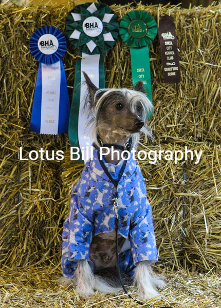 Chinese Crested (29 of 30).jpg
