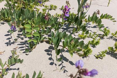 Fabaceae Ärtväxter