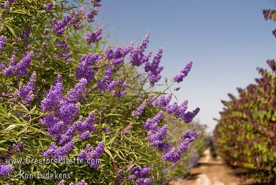 Vitex agnus-castus 'Cooke's Purple' - Chaste Tree