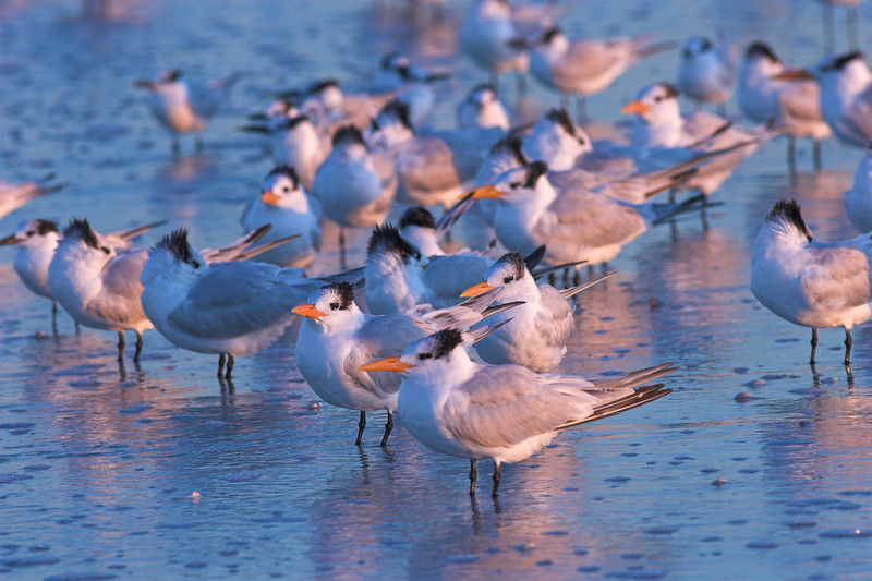 Royal Terns bathe in the afternoon glow at Honeymoon Island SP