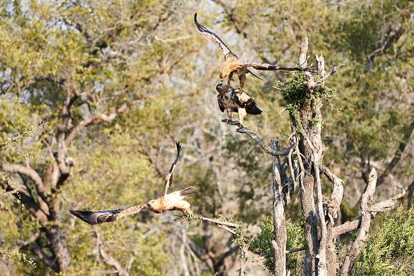 Tawny Eagle MalaMala South Africa 2019