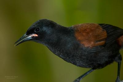North Island Saddleback (Philesturnus rufusater) NT
