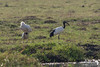 Sacred Ibis and Sleeping Spoonbill