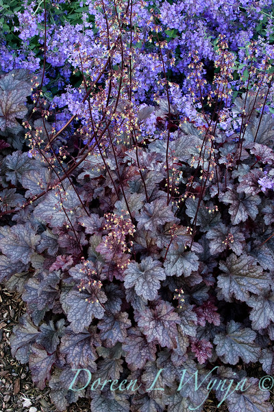 Heuchera Plum Pudding_005.jpg