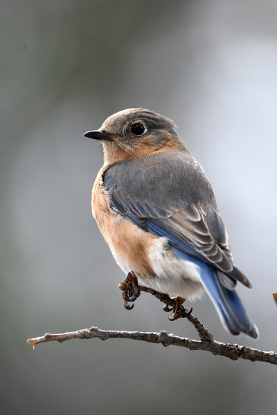 Bluebird Female (227).JPG