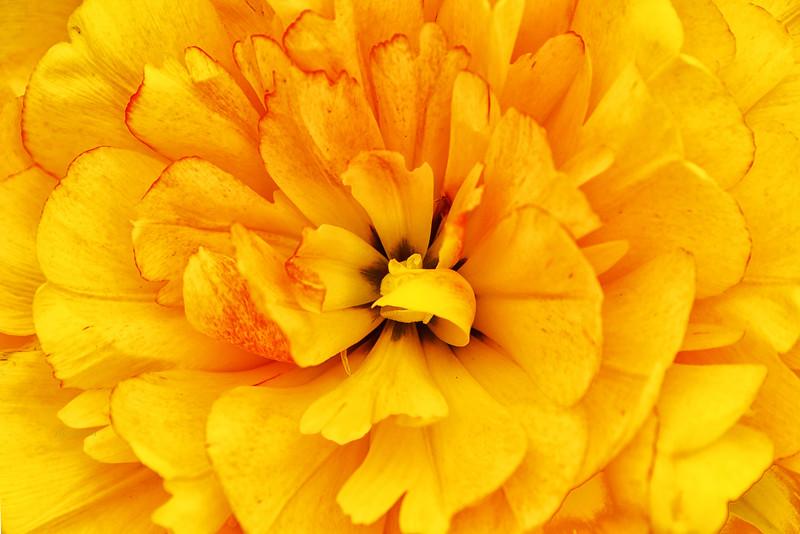Sun Power Tulip in Yellow